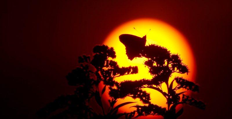 Intermèdes Nature / Papillon Belle Dame-1