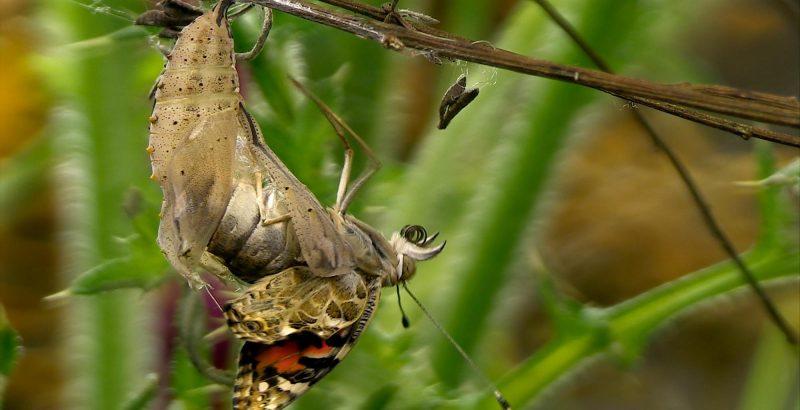 Intermèdes Nature / Papillon Belle Dame-5