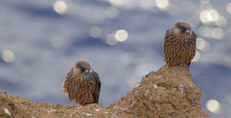 Intermèdes Nature / Le faucon d'Eléonore-1