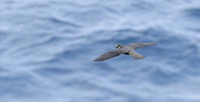 Intermèdes Nature / Le faucon d'Eléonore-5