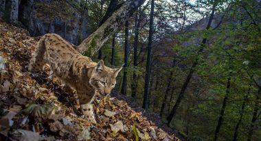 img-Intermèdes Nature / Le faucon d'Eléonore + France Terres Sauvages : la forêt