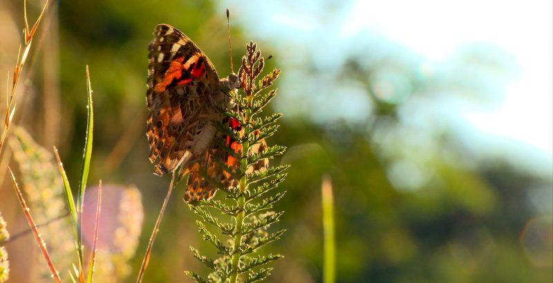 Intermèdes Nature / Papillon Belle Dame + Wetlands-5