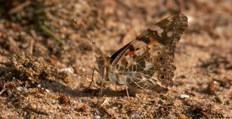 Intermèdes Nature / Papillon Belle Dame + Wetlands-4