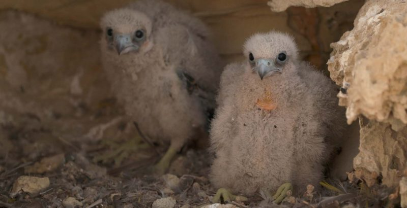 Intermèdes Nature / Le faucon d'Eléonore + France Terres Sauvages : la forêt-4
