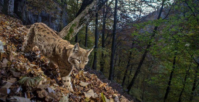 Intermèdes Nature / Le faucon d'Eléonore + France Terres Sauvages : la forêt-1