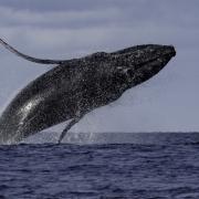 baleines-bosse-©Laurent-Debordes-07-08-2019-lespas