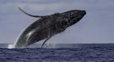 img-Baleines à bosse à La Réunion : un patrimoine naturel exceptionnel à protéger