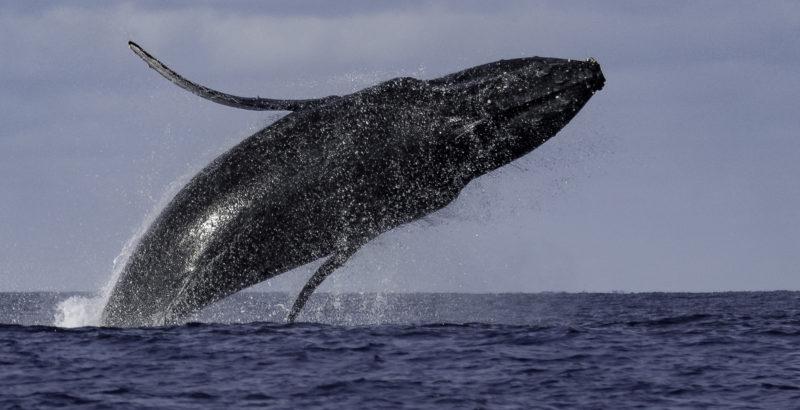 Baleines à bosse à La Réunion : un patrimoine naturel exceptionnel à protéger-1