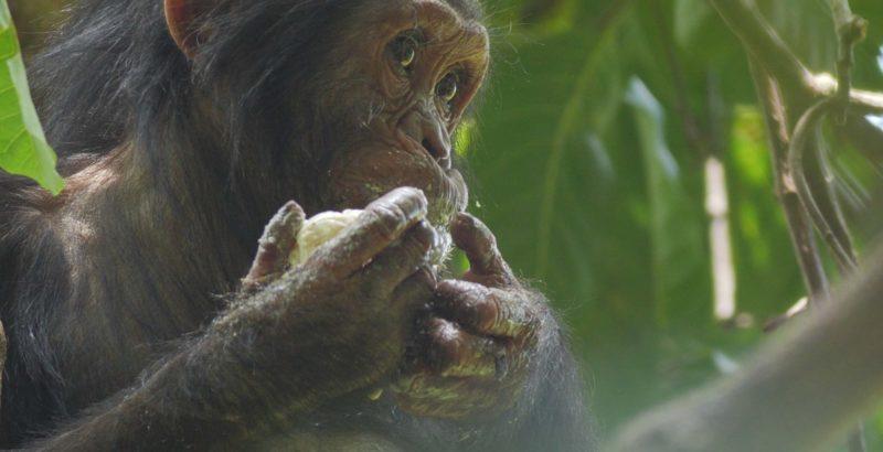 Intermèdes Nature - Jane Goodall : The Hope-4